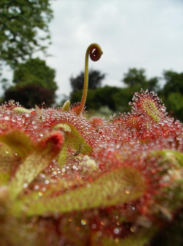 Ping, Utri, Heliamphora, Nep, Sarra, Drosera, Dionaea Hpim0911