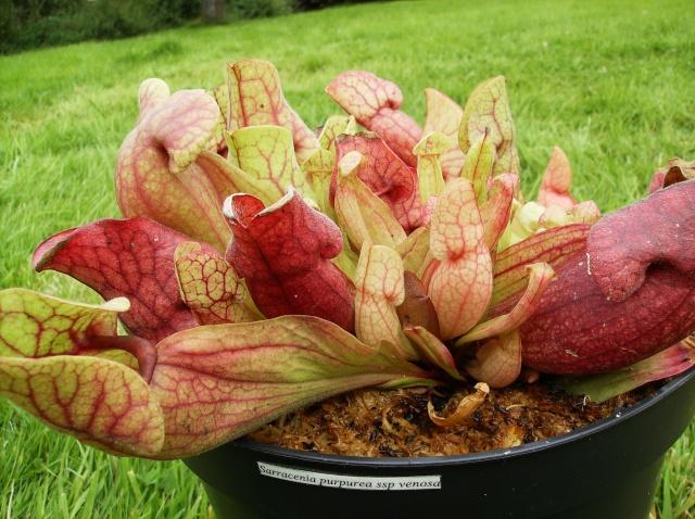 Ping, Utri, Heliamphora, Nep, Sarra, Drosera, Dionaea Hpim0914