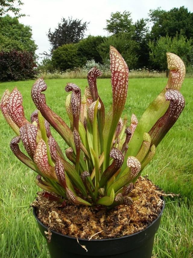 Ping, Utri, Heliamphora, Nep, Sarra, Drosera, Dionaea Hpim0916