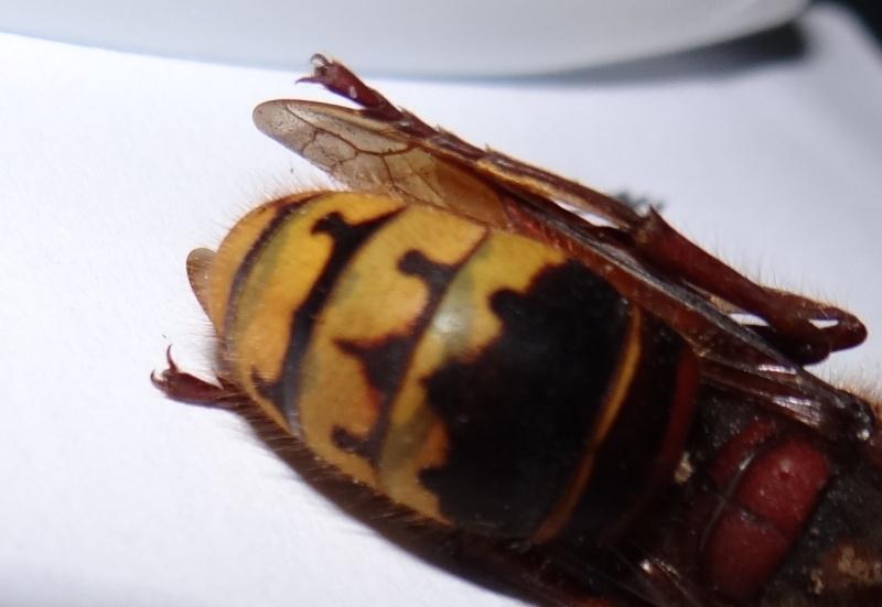 [i]Vespa crabro[/i] Dsc02618