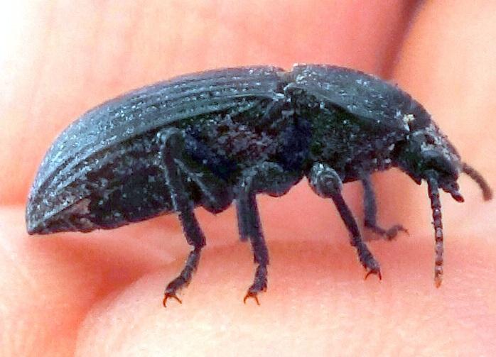 [Dendarus tristis] 13 mm Noir aux élytres striés Dsc03010
