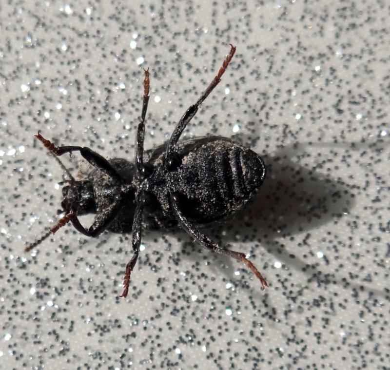 [Dendarus tristis] 13 mm Noir aux élytres striés Dsc03012