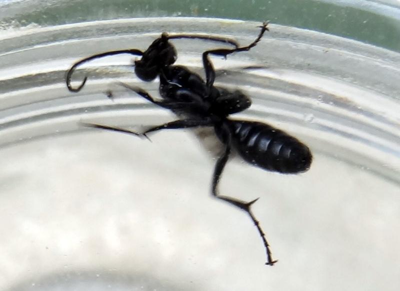 Petite femelle 6 mm  ou un peu plus  Envers10