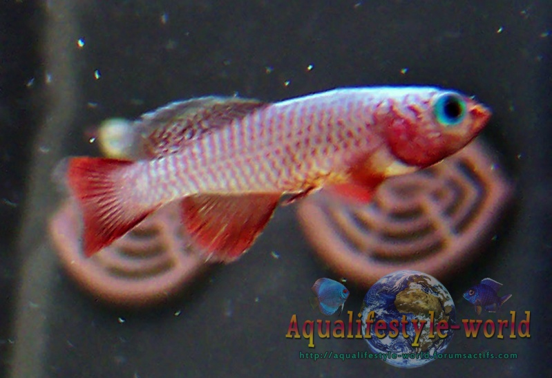Nothobranchius rubripinnis 100_8024