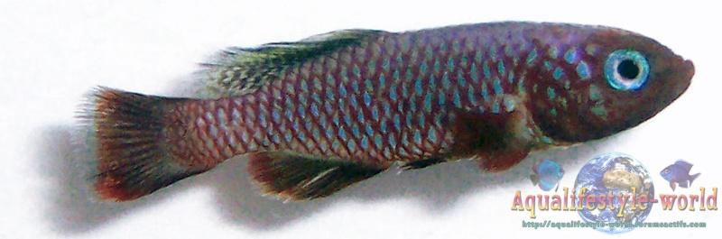 Nothobranchius rubripinnis 100_8025