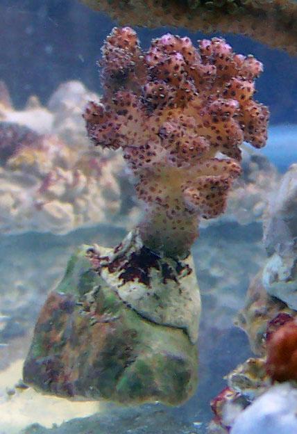 identifications coraux 100_8311