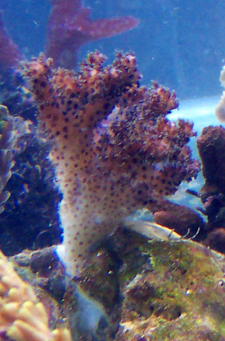 identifications coraux 100_8312