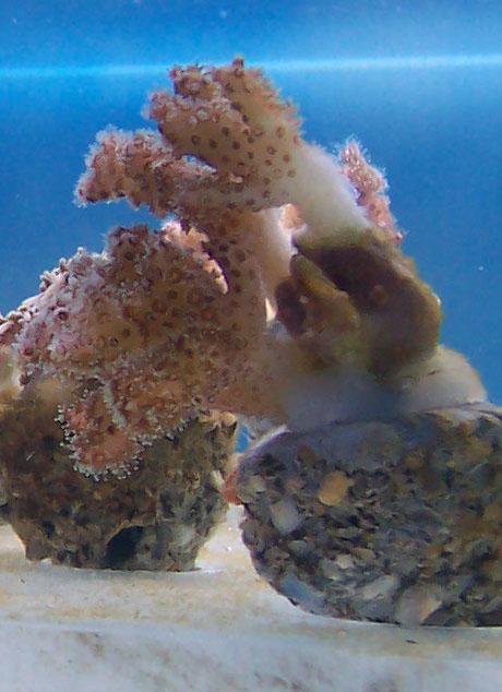 identifications coraux 100_8316