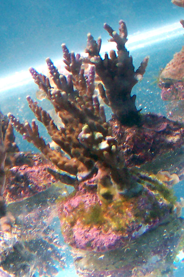 identifications coraux 100_8318