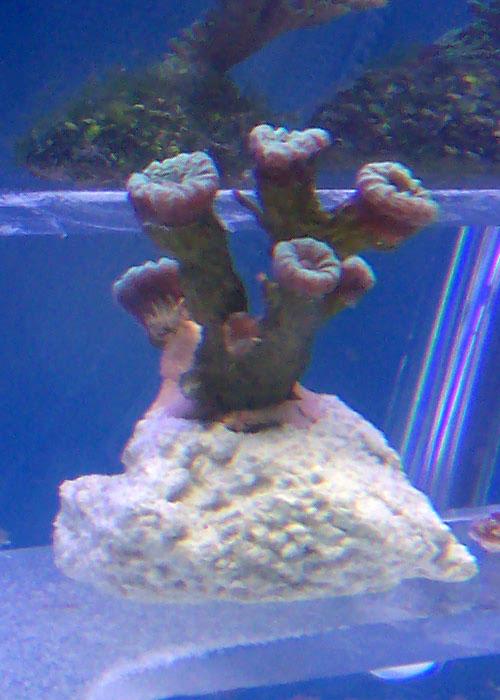 identifications coraux 100_8320