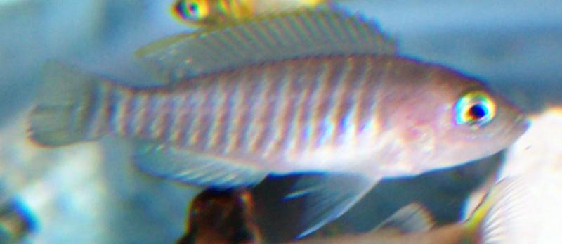Neolamprologus multifasciatus 100_8619