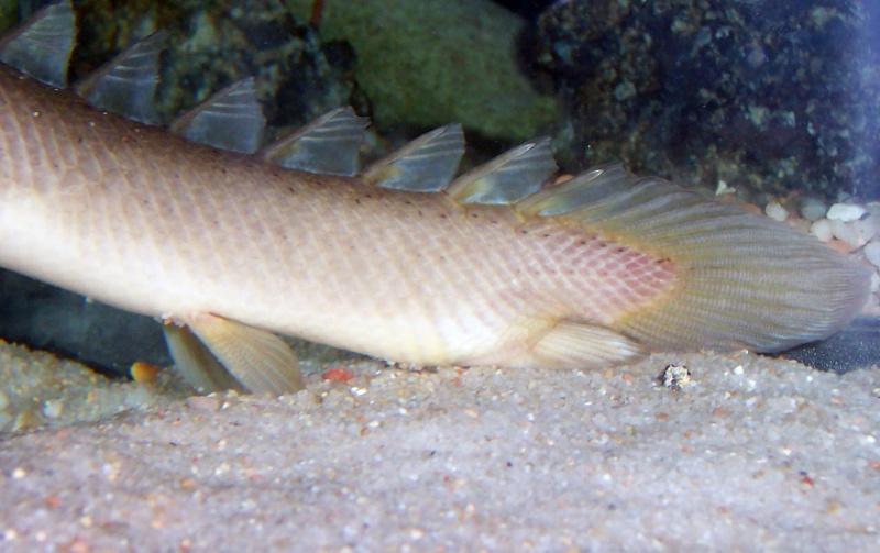 Polypterus senegalus senegalus 100_8725