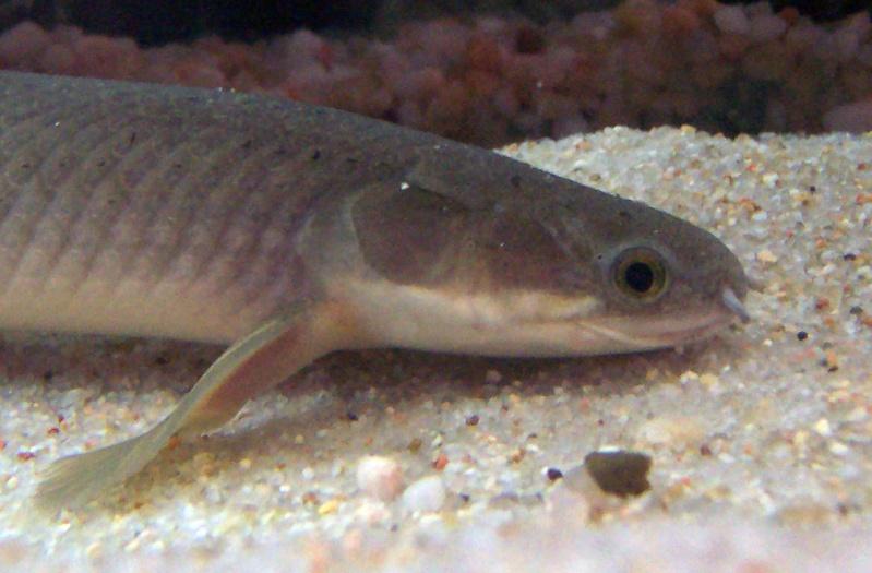 polypterus - Polypterus senegalus senegalus 100_8729