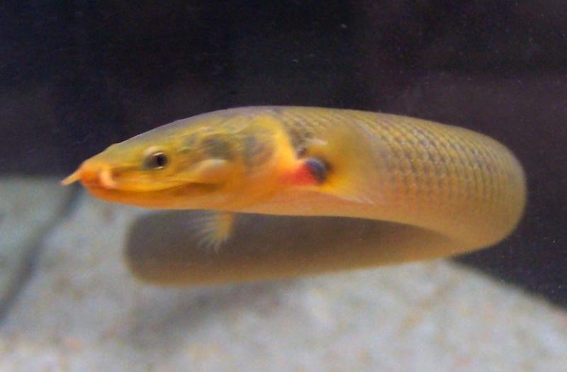 Erpetoichthys calabaricus 100_8817