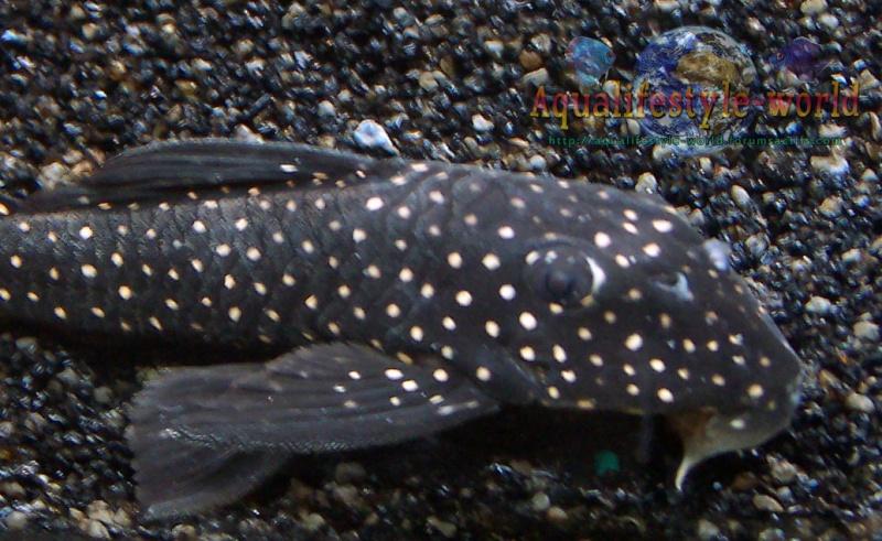 Scobinancistrus pariolispos L 48 100_9319