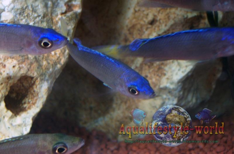 Cyprichromis leptosoma 100_9328