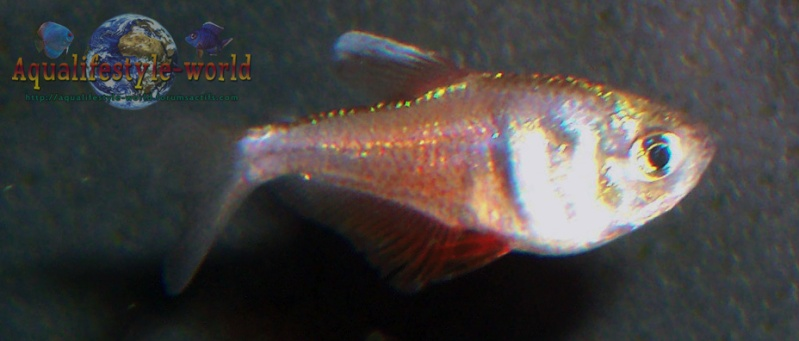 Hyphessobrycon flammeus 100_9419