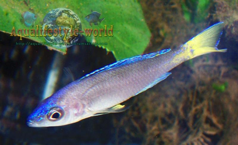 Cyprichromis leptosoma 100_9612
