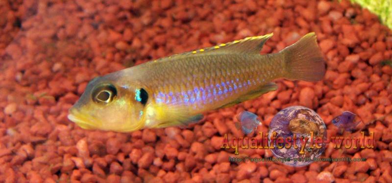 Neolamprologus ocellatus 100_9615