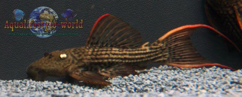 L 024 Red Fin Cactus Pleco 100_9710