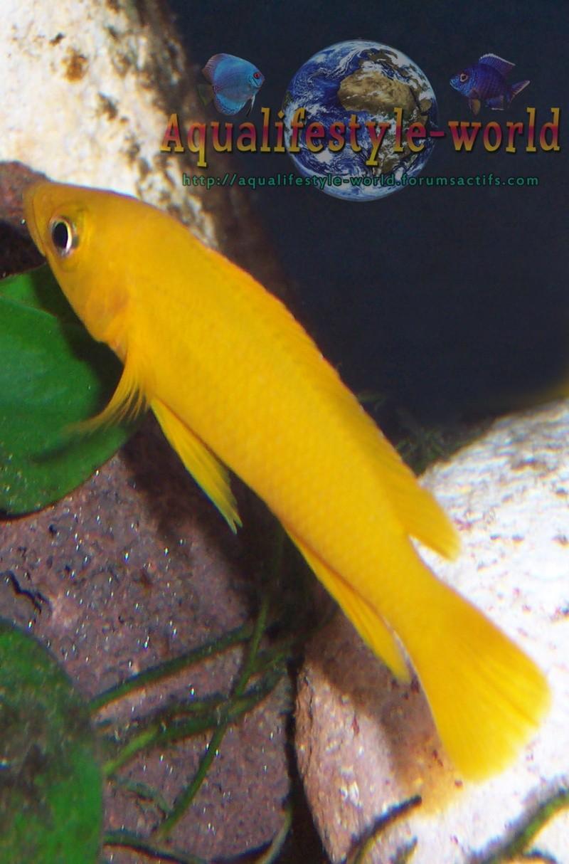 Neolamprologus leleupi 100_9717