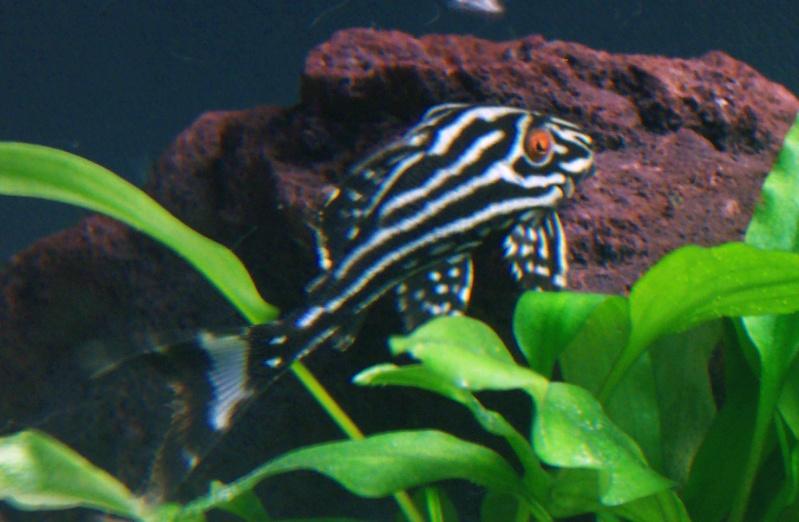Panaque nigrolineatus L027 100_9816