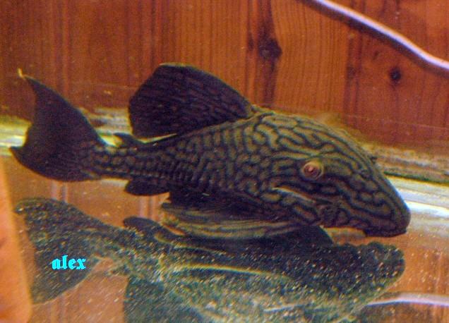 Panaque nigrolineatus L027 Alex1010