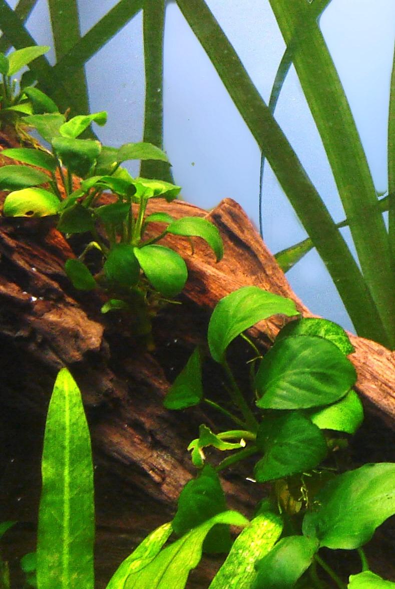 Anubia barteri varieté Nana Anubia10