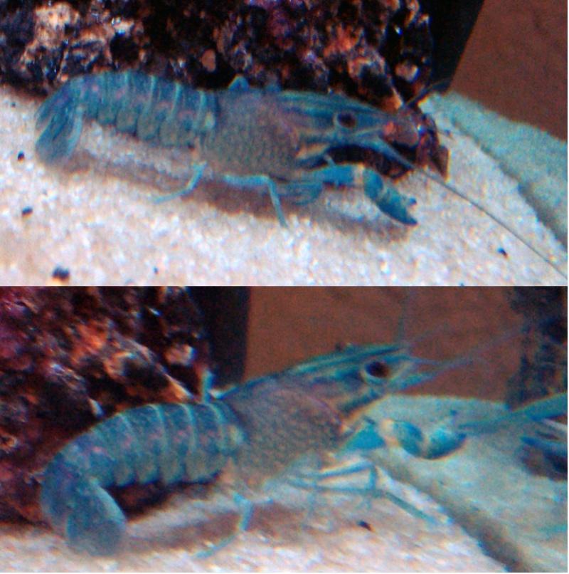 Cherax quadricarinatus Attaqu11
