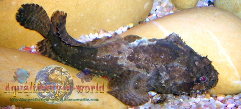 Batrachomoeus trispinosus Haloph21