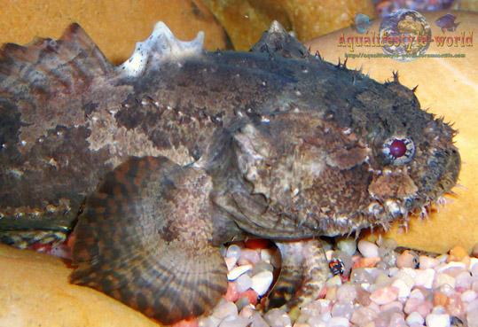 Batrachomoeus trispinosus Haloph24