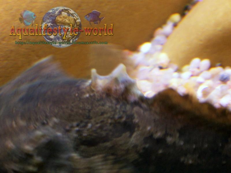 Batrachomoeus trispinosus Haloph28