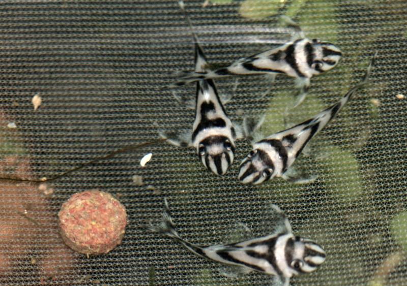 Hypancistrus zebra Img_3910