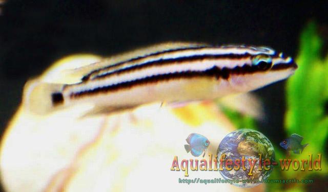 Julidochromis ornatus Jcp1010