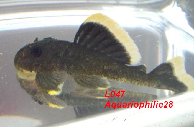 L47 -Baryancistrus Magnum Pleco L_471010