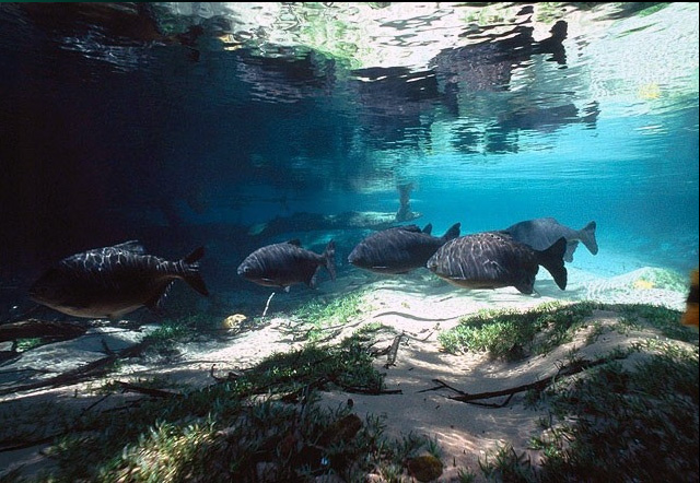 Le fleuve Rio da Prata Pacu10