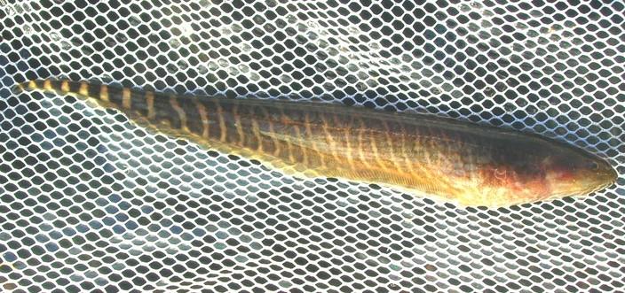 pêche en uraguay Peces710