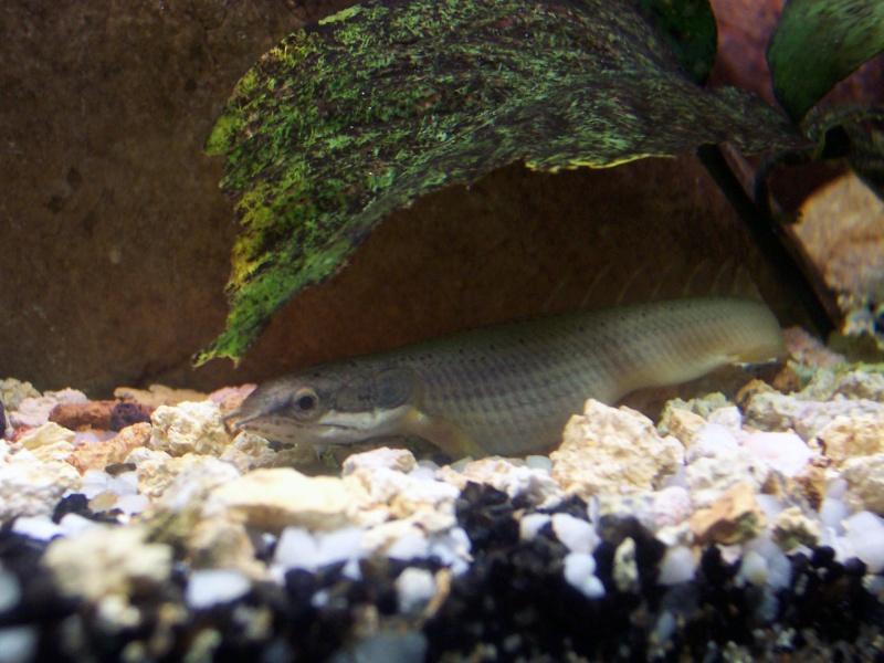 polypterus - Polypterus senegalus senegalus Photo_21