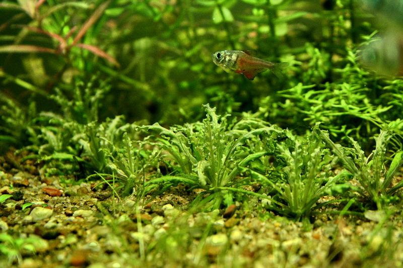 Hyphessobrycon flammeus Pogott10
