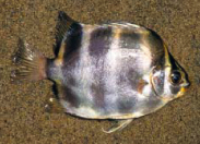 Scatophagus tetracanthus Scatop10