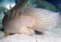 polypterus - Polypterus senegalus senegalus 100_8730
