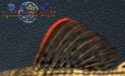 L 024 Red Fin Cactus Pleco 100_9712