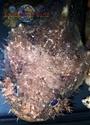 Batrachomoeus trispinosus Haloph23