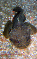 Batrachomoeus trispinosus Haloph27