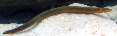 Erpetoichthys calabaricus