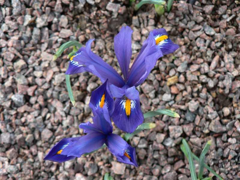 iris réticulés 2008 - Page 3 Iris_r13