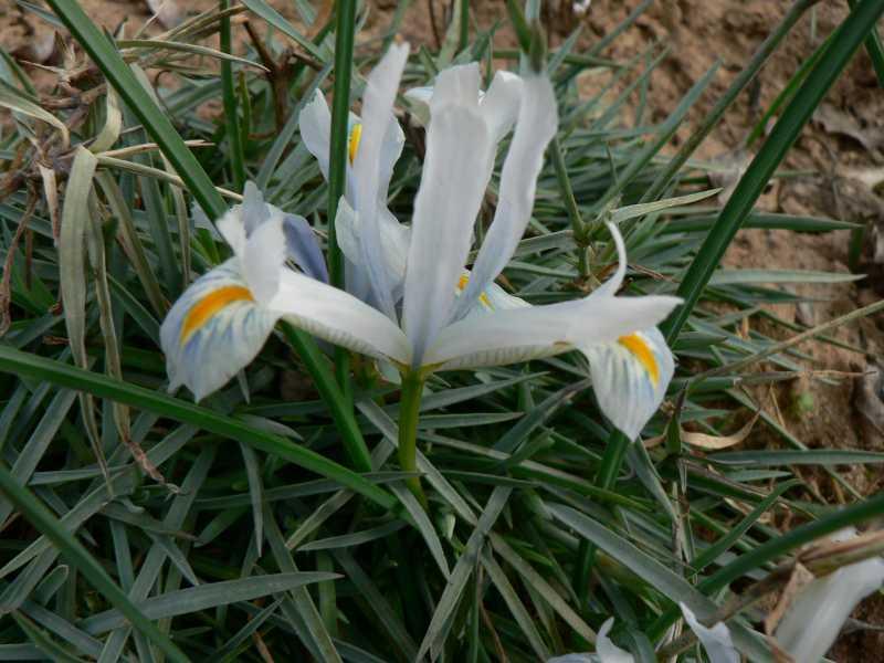 iris réticulés 2008 - Page 3 Iris_r15