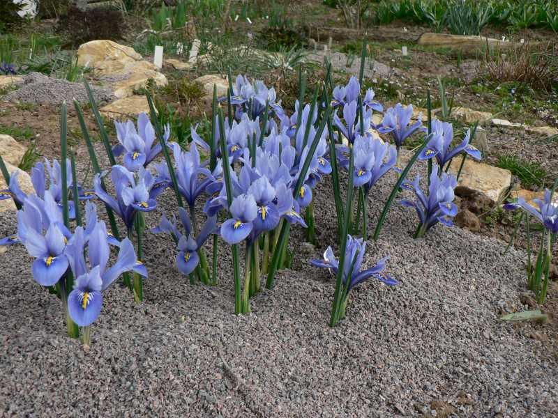 iris réticulés 2008 - Page 3 Iris_r16