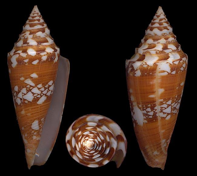 Conus (Leptoconus) castaneofasciatus arbornatalis  da Motta, 1978 Amadis10