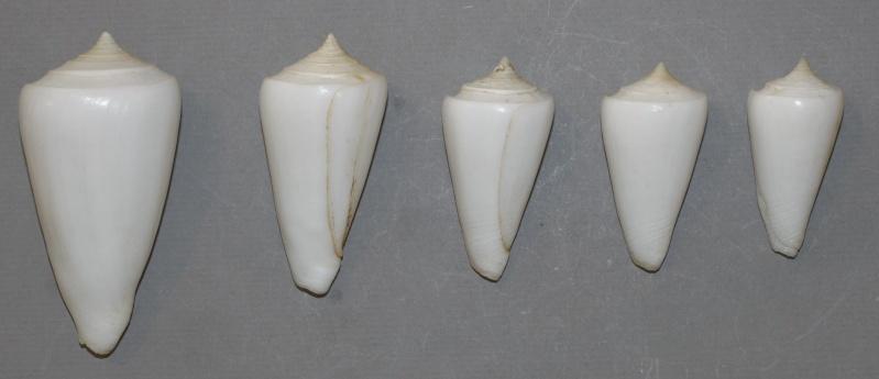 Conus (Leptoconus) amadis   Gmelin, 1791 Amadis11